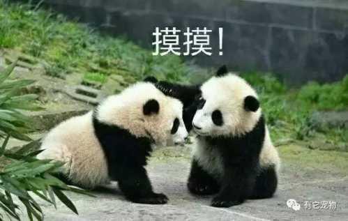 壁纸 大熊猫 动物 499_317